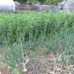 Crops in Loughton Parish council allotments