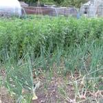 Crops in Loughton Parish council allotments